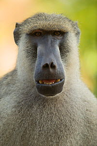 Yellow baboon (Papio cynocephalus) with mouth open. Ukunda, Diani Beach, Mombasa, Kenya.  -  Roland  Seitre