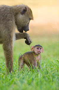 Yellow baboon (Papio cynocephalus) with infant. Ukunda, Diani Beach, Mombasa, Kenya.  -  Roland  Seitre