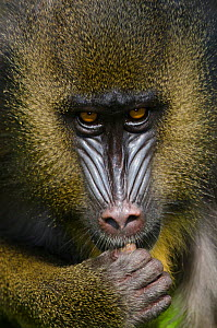 Mandrill (Mandrillus sphinx) La Vallee des Singes / The Valley of the Monkeys, Romagne, France. Captive, occurs in Cameroon, Congo, Equatorial Guinea and Gabon. Vulnerable species. - Roland  Seitre