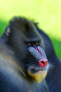 Mandrill (Mandrillus sphinx) male, portrait. La Vallee des Singes / The Valley of the Monkeys, Romagne, France. Captive, occurs in Cameroon, Congo, Equatorial Guinea and Gabon. Vulnerable species. - Roland  Seitre