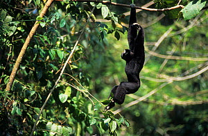 Pileated gibbon (Hylobates pileatus) male hanging from branch. Captive, occurs in Cambodia, Lao People's Democratic Republic, Thailand. Endangered species.  -  Roland  Seitre