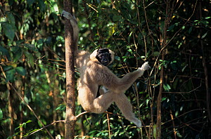 Pileated gibbon (Hylobates pileatus) female sitting on branch. Captive, occurs in Cambodia, Lao People's Democratic Republic, Thailand. Endangered species.  -  Roland  Seitre