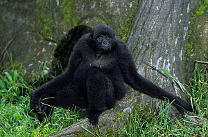 Kloss's gibbon (Hylobates klossii) female sat on ground. Captive, endemic to the Mentawai Islands off the west coast of Sumatra, Indonesia. Endangered species.  -  Roland  Seitre