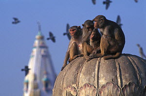Rhesus macaque (Macaca mulatta) group sat on dome in urban setting, India. - Roland  Seitre