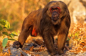 Stump-tailed macaque / Bear macaque (Macaca arctoides) male, Thailand. Vulnerable species.  -  Roland  Seitre