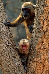 Stump-tailed macaque / Bear macaque (Macaca arctoides) female and infant in tree, Thailand. Vulnerable species.  -  Roland  Seitre