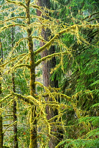 Moss covered trees in ancient temperate rainforest, in Olypmic National Park,   Washington State, USA, January 2014. - Inaki  Relanzon