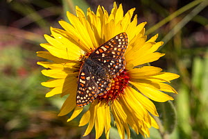 Anicia Checkerspot (Euphydryas anicia) on flower, Glacier National Park, Glacier County, Montana, USA. - John  Abbott