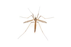 Crane Fly (Tipula texanus) male, Brackenridge Field Laboratory, Austin, Travis County, Texas, USA. - John  Abbott