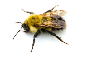 Frigid Bumble Bee (Bombus frigidus) male, North Pole, Fairbanks North Star Borough, Alaska, USA, July. - John  Abbott