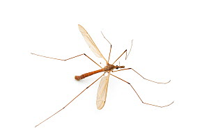 Giant Crane Fly (Holorusia hespera) male, Antelope Springs, Inyo County, California, USA, June. - John  Abbott
