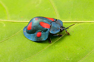 Leaf Beetle (Stolas sp.) Cayo District, Belize.  -  John  Abbott