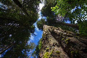 Low angle view of trees in the Hoh Rainforest, Hall of Mosses Trail, Olympic National Park, Jefferson County, Washington, USA, June.  -  John Abbott