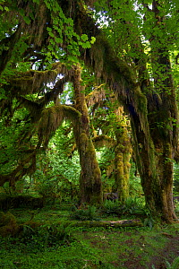 Hoh Rainforest, Hall of Mosses Trail, Olympic National Park, Jefferson County, Washington, USA, June. - John  Abbott