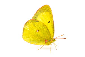 Pinkedged Sulphur (Colias interior) male, Missoula County, Montana, USA, July.  -  John  Abbott
