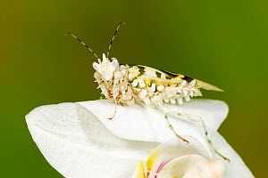 Spiny Flower Mantis (Pseudocreobotra wahlbergii) captive at University of Texas Insect Collection.  -  John  Abbott