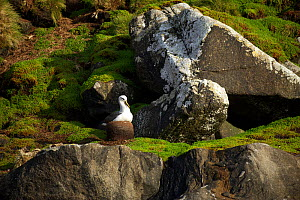 Buller's albatross (Thalassarche bulleri) on nest, Snares Islands, New Zealand, February.  -  Mike Potts