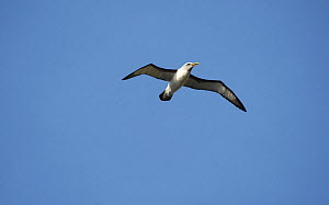 Buller's albatross (Thalassarche bulleri) in flight. Snares Islands, New Zealand, February.  -  Mike Potts