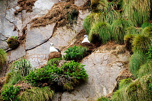 Buller's albatrosses (Thalassarche bulleri) nesting on cliff. There are over 8,000 breeding pairs on these islands which are strictly protected, landings are not permitted. Snares Islands, New Zealand...  -  Mike Potts