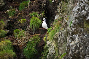 Buller's albatross (Thalassarche bulleri) nesting on cliff. There are over 8,000 breeding pairs on these islands which are strictly protected, landings are not permitted. Snares Islands, New Zealand.  -  Mike Potts
