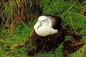 White-capped albatross (Thalassarche steadi) on nest, Auckland Islands, New Zealand, February.  -  Mike Potts