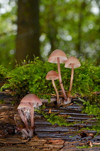Bonnet mushrooms (Mycena sp.) growing from a rotting, moss-covered log in deciduous woodland, Gloucestershire, UK, October.  -  Nick Upton