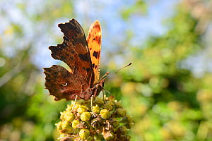 Comma butterfly (Polygonia c-album) feeding on ivy flowers (Hedera helix) in garden, Wiltshire, UK, October.  -  Nick Upton