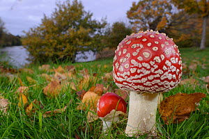 Fly agaric toadstool (Amanita muscaria) growing in grassland near  lake, Coate Water, Swindon, Wiltshire, UK, November.  -  Nick Upton