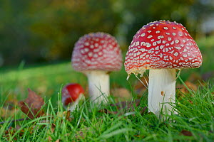 Fly agaric toadstools (Amanita muscaria) growing in grassland, Coate Water Country Park, Swindon, Wiltshire, UK, November. - Nick Upton