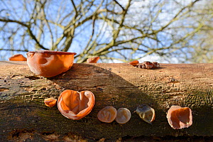 Jelly ear / Jew's ear fungus (Auricularia auricula judae) growing from rotting Elder log in deciduous woodland, Wiltshire, UK, February. - Nick Upton