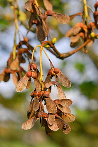 Winged seeds of Sycamore tree (Acer pseudoplatanus), Wiltshire, UK, October.  -  Nick Upton