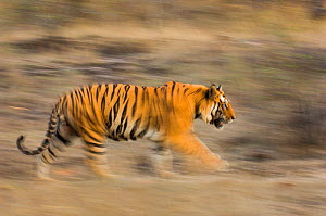 Male Bengal tiger (Panthera tigris tigris) known as 'Sundar' (B2) patrolling territory, Bandhavgarh National Park, Madhya Pradesh, India. Endangered species. - Nick Garbutt