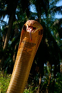 King cobra (Ophiophagus hannah) in strike pose with mouth open, tongue out and glottis (hole like structure in mouth) clearly visible. Malaysia  -  Daniel  Heuclin