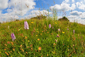 Common Spotted Orchids (Dactylorhiza fuchsii) and Bee Orchid (Ophyris apifera) photographed with fisheye lens to show lowland calcareous grassland habitat. Peak District National Park, Derbyshire, UK....  -  Alex  Hyde