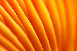 Gills of Honey Waxcap (Hygrocybe coccinea). The National Forest, Leicestershire, UK, October.  -  Alex  Hyde
