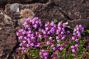 Wild Thyme (Thymus serpyllum) Isle of Mull, Scotland, UK. June.  -  Alex  Hyde