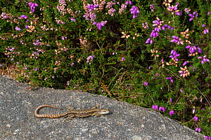 Common Lizard (Lacerta vivipara) basking on rock on heather moorland, Peak District National Park, Derbyshire, UK. August. - Alex  Hyde