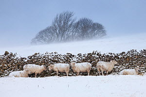 Sheep sheltering from harsh weather behind a stone wall, Peak District National Park, Derbyshire, UK. March.  -  Alex  Hyde