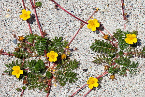 Silverweed (Potentilla anserina) growing on a sandy beach, showing red stolons. Iona, Isle of Mull, Scotland, UK.  -  Alex  Hyde