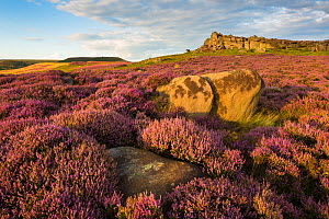 Owler Tor surrounded by ling heather (Calluna vulgaris) in full bloom. Peak District National Park, Derbyshire, UK. August. - Alex  Hyde