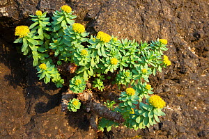 Rose-root (Rhodiola rosea) growing on sea cliff, Isle of Lunga, Treshnish Isles, Scotland, June. - Alex  Hyde