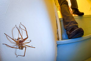 House Spider male (Tegenaria domestica) in a stairwell at night, with person approaching. Derbyshire, UK. September.  -  Alex  Hyde