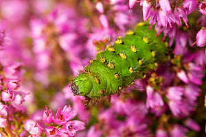 Emperor Moth (Saturnia pavonia) caterpillar feeding on Ling Heather (Calluna vulgaris). Peak District National Park, Derbyshire, UK. August.  -  Alex  Hyde