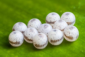 Owl Butterfly {Caligo sp.} eggs on banana leaf. Captive, occurs in  Central and South America. Focus stacked image. - Alex  Hyde