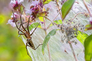 Nursery Web Spider (Pisaura mirabilis) mother on nursery web with newly emerged spiderlings. Peak District National Park, Derbyshire. UK. July. - Alex  Hyde