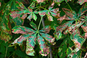 Horse Chestnut leaves (Aesculus hippocastanum) infected with Leaf Miner Moth (Cameraria ohridella) Peak District National Park, Derbyshire, UK. July. This is an invasive species.  -  Alex  Hyde