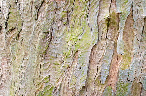 Sycamore bark (Acer pseudoplatanus) on a mature tree. Peak District National Park, Derbshire, UK. April.  -  Alex  Hyde