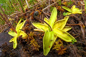 Common Butterwort (Pinguicula vulgaris) growing in peat bog. This carnivorous plant has sticky droplets covering its leaves that trap its insect prey. Isle of Mull, Scotland, UK. June.  -  Alex  Hyde