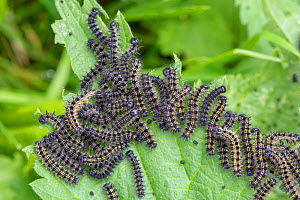 Caterpillars of Small tortoiseshell butterfly (Aglais urticae)on their foodplant  Stinging nettle (Urtica dioica). Oxfordshire, UK. July. - Alex  Hyde