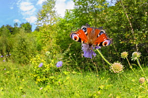Peacock butterfly (Inachis io) feeding on Field Scabious (Knautia arvensis) in a disused limestone quarry. Peak District National Park, Derbyshire, UK. August.  -  Alex  Hyde